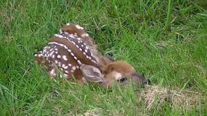 baby white tail deer fawn born in yard youtube