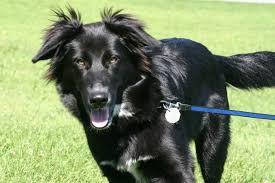 australian shepherd husky taj mutthall dog diary famous last words