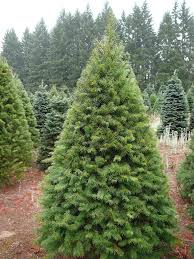 douglas fir christmas tree 100 douglas fir artificial christmas tree unlit fully