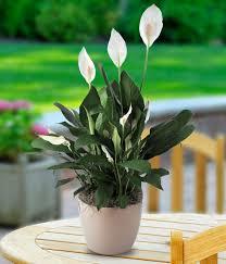 get well soon tabletop plant garden w mylar indoor plant gifts