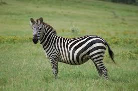 grant u0027s zebra wikipedia