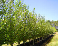 ronneby advanced trees pyrus ornamental pears