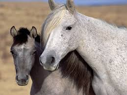 mustangs mating amazing sports pictures mating wallpapers