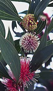 native rainforest plants 170 best australian native plants images on pinterest native