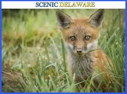 Delaware travel fox images Scenic delaware delaware state news delaware state news jpg