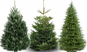 real trees types how to buy and care for the