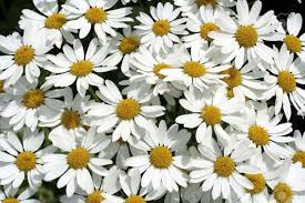garden full of white daisies stock photo picture and royalty free