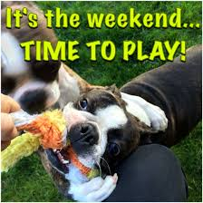 Boston Terrier Meme - friday the boston terrier way it s the weekend time to play