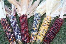 indian corn home garden ebay