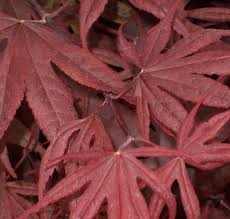 32 best japanese acers images on acer palmatum