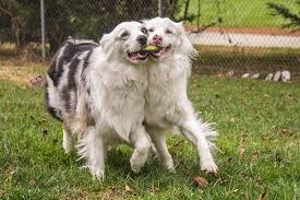 australian shepherd double merle cuteness interviews keller the double merle cuteness