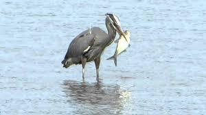 heron meaning great blue heron eats huge fish youtube