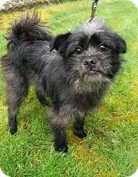 affenpinscher rescue seattle covington wa cairn terrier brussels griffon mix meet scruffy a