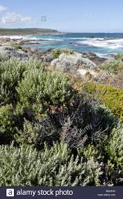 small plants dotting redgate beach near margaret river in western