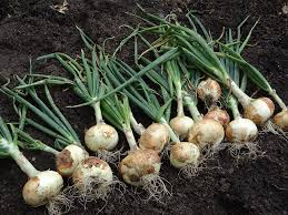 best 25 growing onions ideas on pinterest onion leeks growing