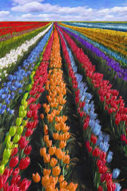 Netherlands Tulip Fields 3932 Best I Love The Netherlands Holland Images On Pinterest