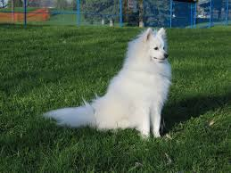 how big is american eskimo dog american eskimo dog wallpaper puppy pictures breed info