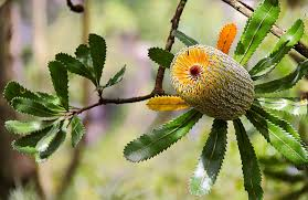 what plants are native to australia old man banksia australian native plants nsw national parks