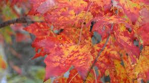 autumn leaf color england fall foliage mehdi falling leaves