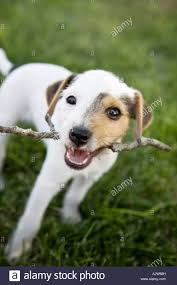 jack russell terrier puppy stick stock photos u0026 jack russell