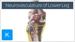 Anatomy Of The Knee Video Neurovasculature Of The Lower Leg And Knee Kenhub