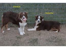 south dakota australian shepherd australian shepherds puppies for sale rainbow australian