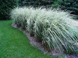 decorative grasses for the back of your yard the home