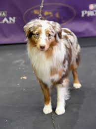 australian shepherd kennel club this dog has natural dreadlocks star2 com