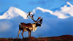 alaskans really want you to eat reindeer and you probably should