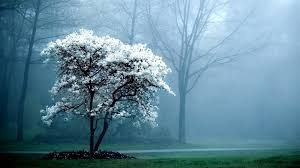 tree with white flowers flowers trees flowered view magnolia fog white colored