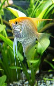 blok888 top 10 most beautiful freshwater fish in the world 2
