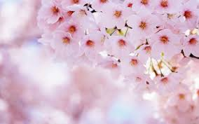amazing blossom wallpaper 1920x1200 22448