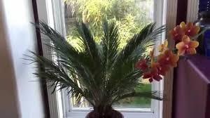 gardening guide growing tropicals indoors plumeria update sago