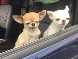 Memes De Chihuahua - te ha llegado el meme de los chichuahas esta es su historia