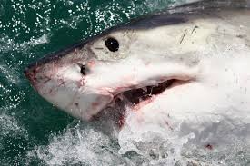 researchers report seeing more sharks on the east coast cbs news