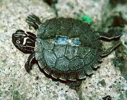 map turtle false map turtle graptemys pseudogeographica turtles