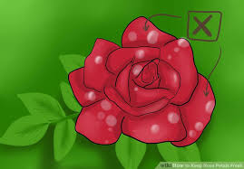 fresh petals how to keep petals fresh 12 steps with pictures wikihow