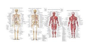 Cartoon Human Anatomy Human Anatomy Chart Page 135 Of 202 Pictures Of Human Anatomy Body