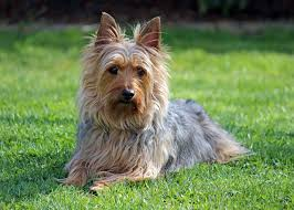 silky terrier hair cut silky terrier facts pictures price and training dog breeds