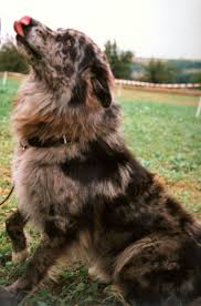australian shepherd with german shepherd best 25 blue merle australian shepherd ideas on pinterest