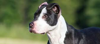 american pit bull terrier life expectancy american pit bull terrier dog breed