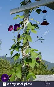 Trellis On Morning Glories Twine Up A Porch Trellis On A Sunny Day Note