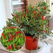 50pcs thai sun pepper capsicum annuum ornamental chili seeds
