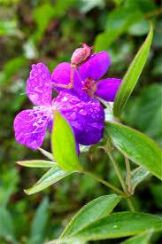 invasive non native plants florida u0027s fall turns purple phillip u0027s natural world 1 0 2