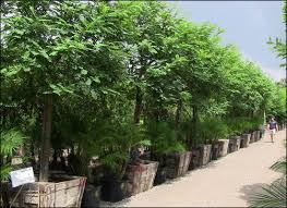 best 25 valley nursery ideas on desert trees drought