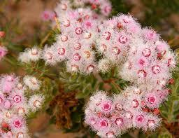 australian native plants society gallery australian plants society victoria