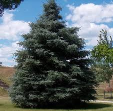 best 25 white spruce ideas on pinterest spruce tree evergreen