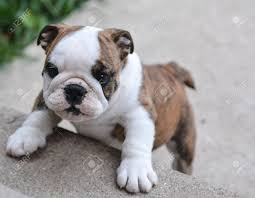 english bulldog puppy climbing up on cement stairs stock photo