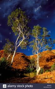 white eucalyptus trees at the red cliffs of kings canyon in