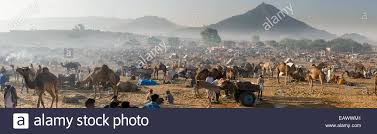 camel tents panoramic view of tents camels and carts in the desert at